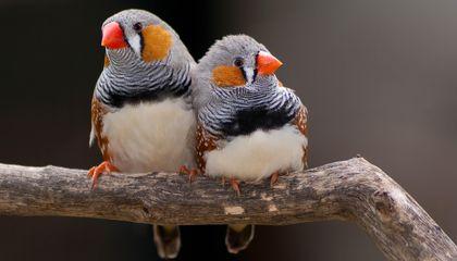 عصافير الشرشوريات (Finches)