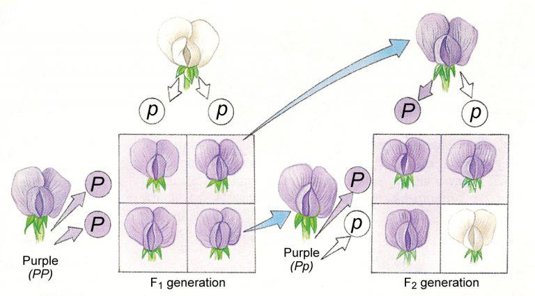 تعريف علم الوراثة السلوكي