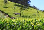 افضل انواع الشاي في سريلانكا