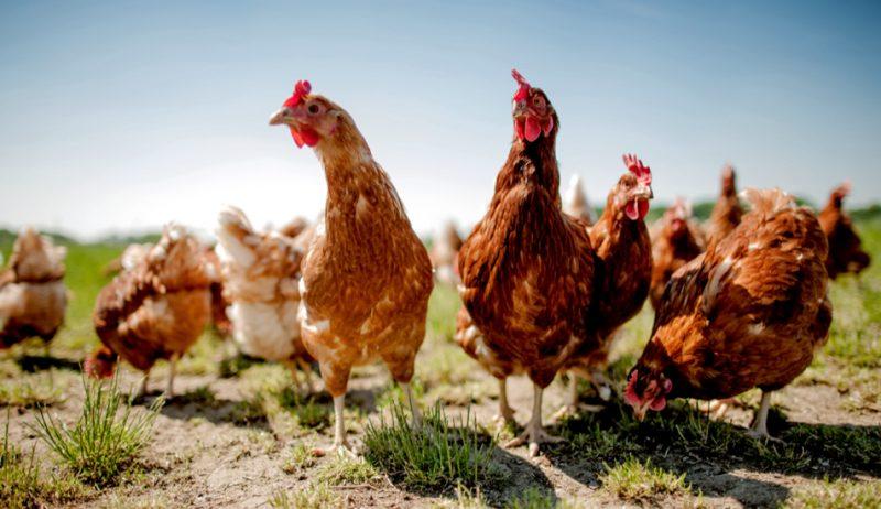 Photo of أفضل أنواع الدجاج… أهمُّ المعلومات عن 8 أنواع من الدّجاج المنزليّ