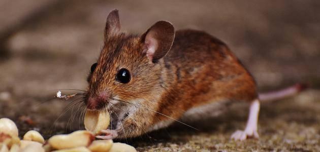 Photo of تفسير رؤية الفأر في الحلم للعزباء والمتزوجة