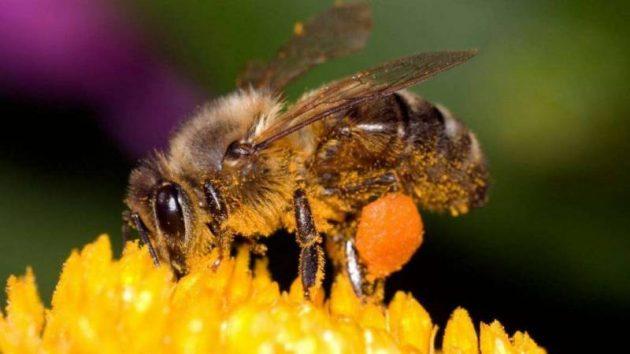 أفضل أنواع النحل