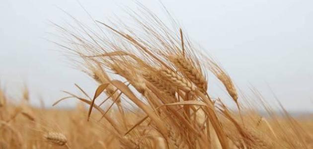 أفضل أنواع القمح