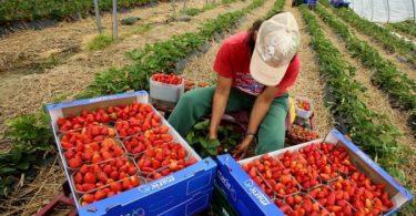 العمل في حقول الفراولة في إسبانيا