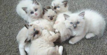 افضل انواع القافضل انواع القطط الاليفه في العالمطط الاليفه في العالم