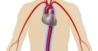 اكبر وعاء دموي في جسم الانسان