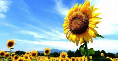 الطور السائد في النباتات البذرية