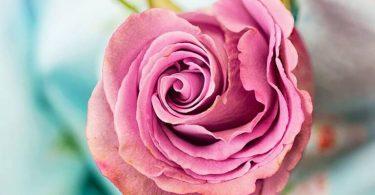 انواع الورود واسمائها