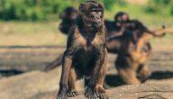 رؤية القرود في المنام وتفسير حلم القرود