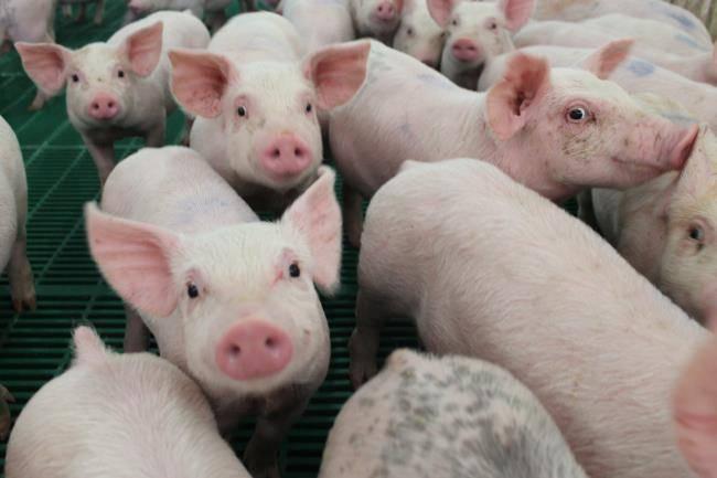 حلم الخنزير