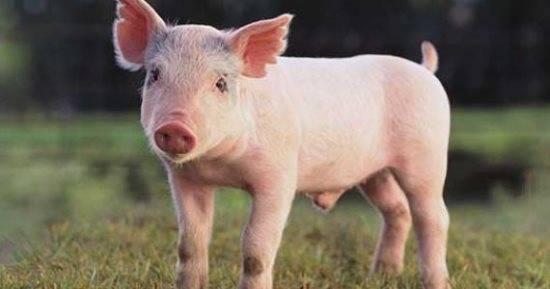 رؤية الخنزير