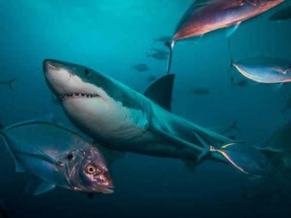 سمك القرش في الحلم