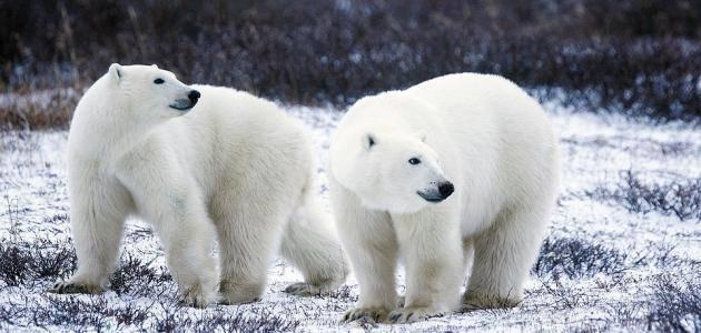 صفات الدب القطبي