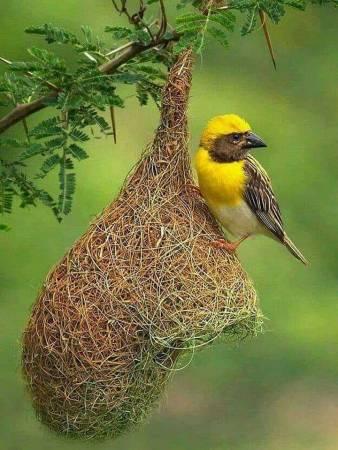 عش العصافير