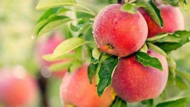 زهر التفاح